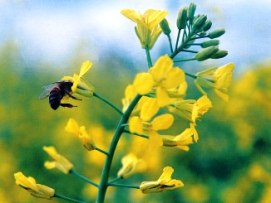 Bee landing on a canola flower
