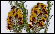 Dillwynia sericea