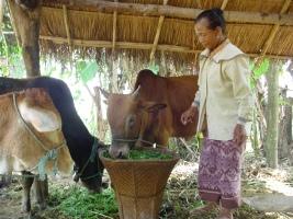 Woman farmer feeding fodder to cattle