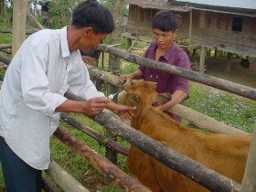 Extension staff demonstrating cattle vaccination technique