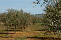 The CSU Experimental Olive Grove is in harmony with the surrounding farmland.