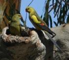 Regent parrots. Pic by D. Oliver, DECC