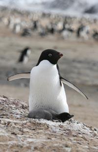 Brooding Adelie penguin. Courtesy M. Massaro