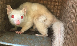 CSU students assist in the discovery of rare albino northern quoll