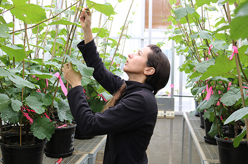 NWGIC research shows early leaf removal can help reduce sunburn in grapes