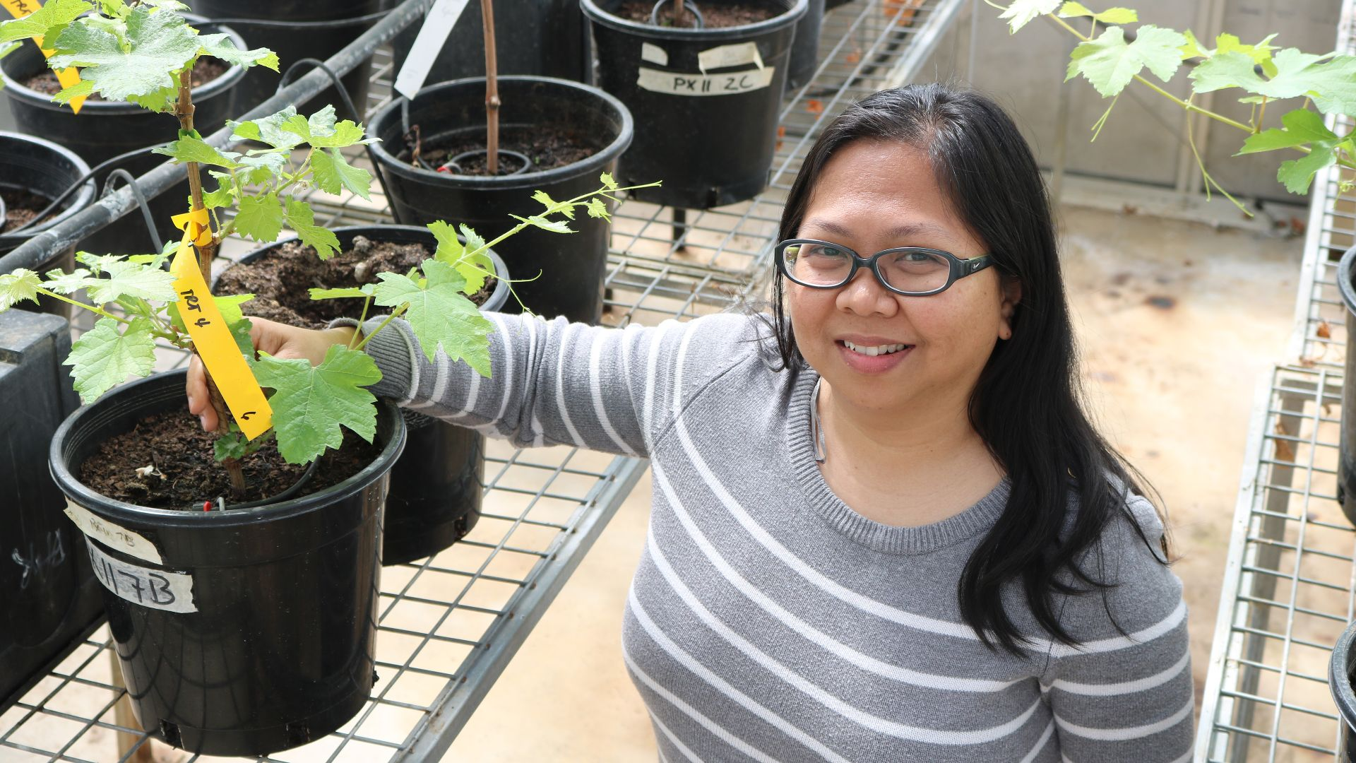 Charles Sturt research identifies potential for new biocontrol of Grapevine Trunk Diseases