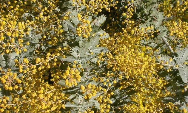 Research finds Australian wattle seeds have a 'fire gauge' and a 'rain gauge'