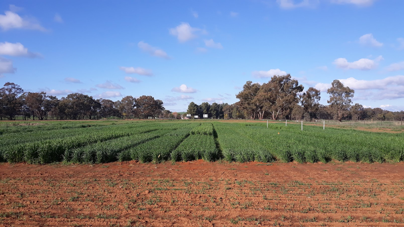 Field experiment in the Graham Centre field site looking at the competitiveness of wheat