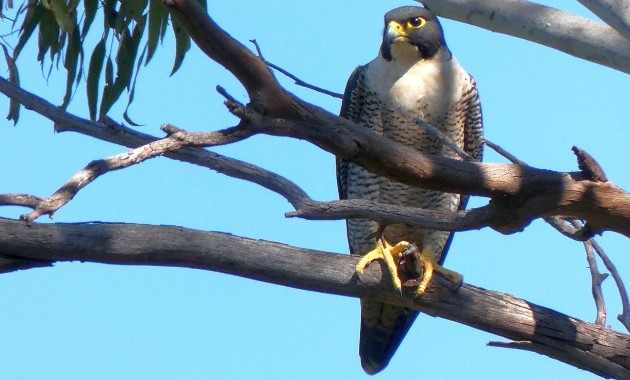 'Big brother' bird show; hopes for three peregrine falcon eggs to hatch soon