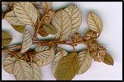 Pomaderris eriocephala