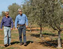 CSU's Richard Early (left) and David Thompson in the University's Experimental Olive Grove.