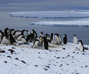 Adelie penguin rookery, Ross Island. Courtesy M. Massaro