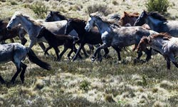 Brumbies in Alps