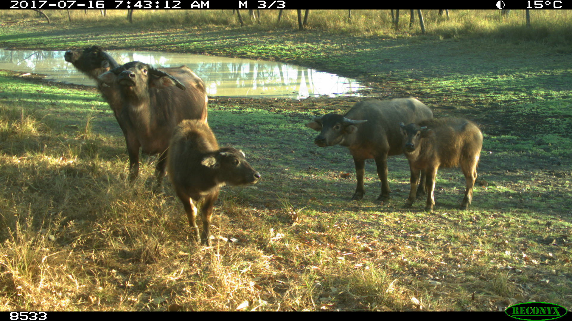 Buffalo and calves