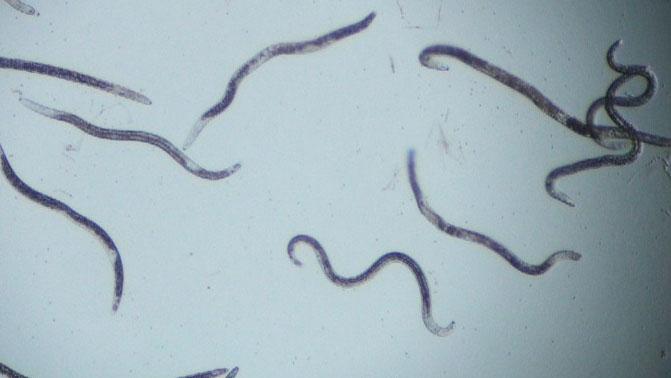 Root-lesion nematodes