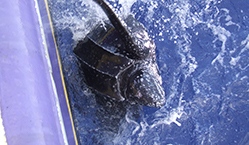 Turtle bycatch