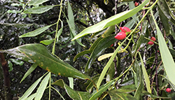 Mistletoes in macadamias: unsightly pests or hidden treasures?