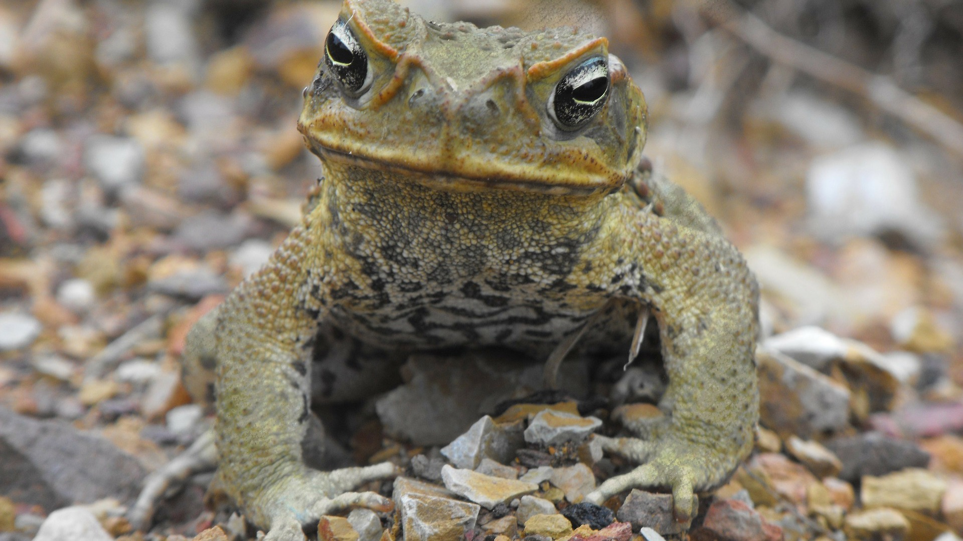 You'll never think of cane toads in quite the same way again