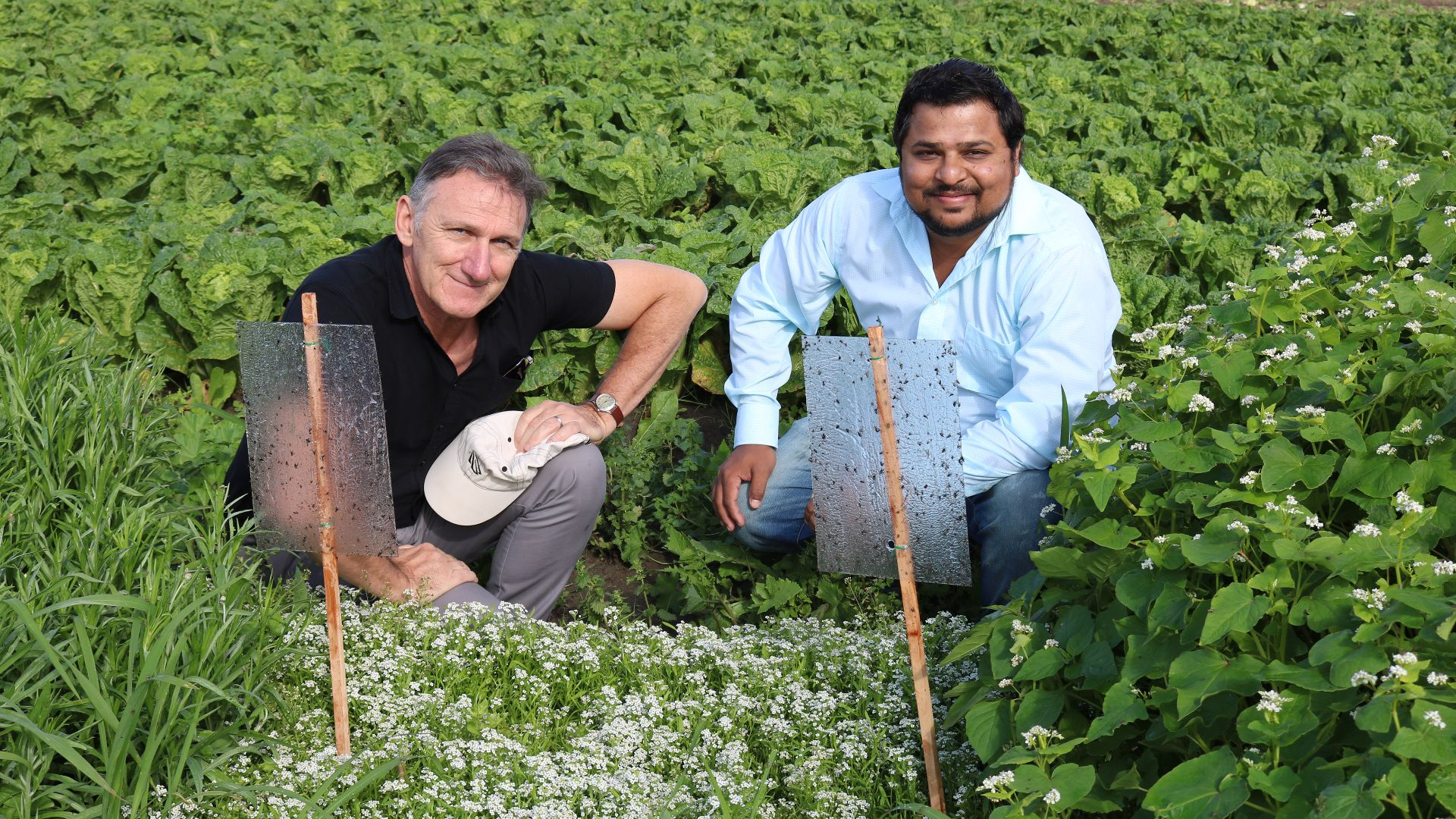Flowering field trials to beat vegetable pests