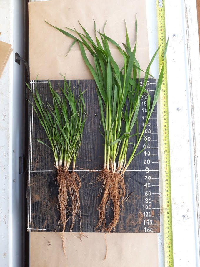 This experiment is examining how the visible above-ground performance between current cultivar (left) and high vigour wheat germplasm (right) impact on below-ground root architecture and exudations that might increase their competitiveness against weeds