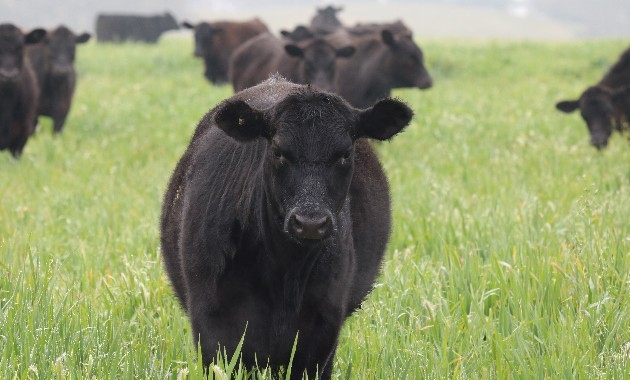 New research targets bloat in southern beef production systems
