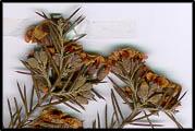 Dillwynia juniperina
