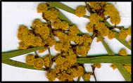 Acacia hakeoides
