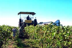 Harvesting the grapevines