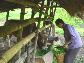 Farmer feeding cut fresh fodder to housed cattle