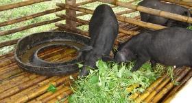 Housed pigs eating prepared feed