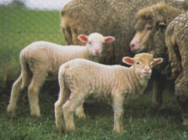 Two young lambs