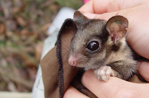 Australia relies on volunteers to monitor its endangeredspecies