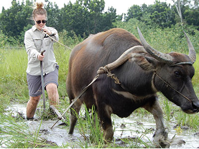 Ploughing a rice field using a carabao,