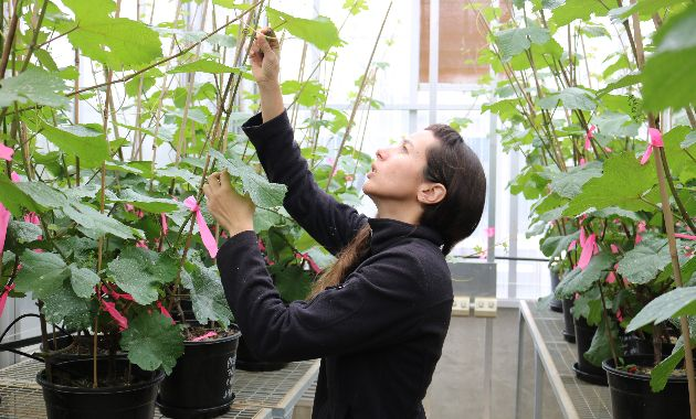 Charles Sturt research shows early leaf removal can help reduce sunburn in grapes