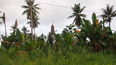 Bogia coconut syndrome (BCS) is a plant disease that has caused severe losses to coconut palms