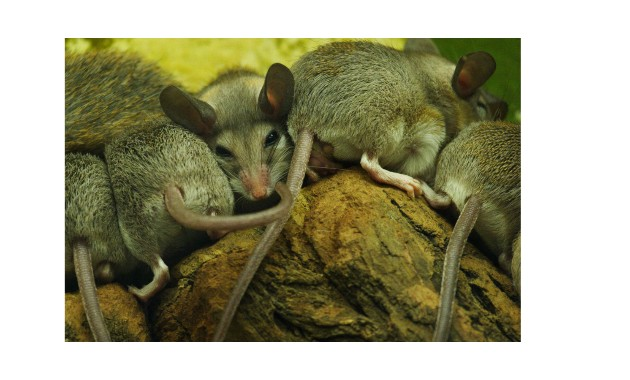 Coping with the psychological impact of mice plagues
