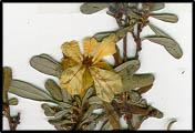 Hibbertia obtusifolia