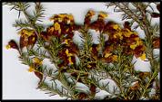 Dillwynia phylicoides