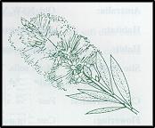 Callistemon pityoides