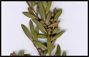Leptospermum brevipes