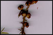Leptospermum continentale