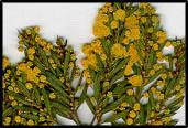 Acacia lineata
