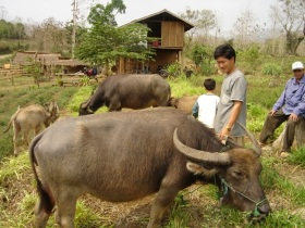 Farmer with buffalo