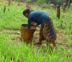 Khamu farmer