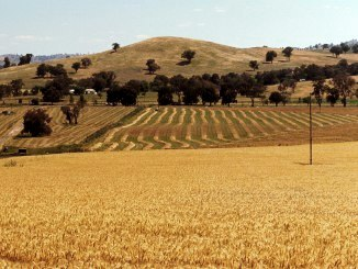 Windrows in a paddock being harvested