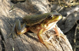Photo of the southern bell frog, courtesy Dr Skye Wassens