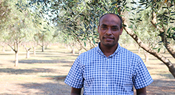 Less means more for irrigating olives
