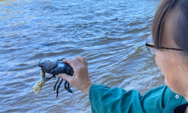 Crayfish nursed back to health by researchers return to Hume Dam