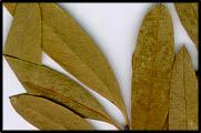 Santalum lanceolatum