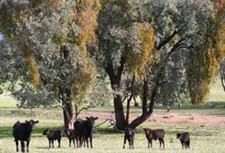 Cows in Paddock
